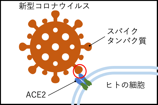SARS-CoV2 and ACE2 N501_mutation_site