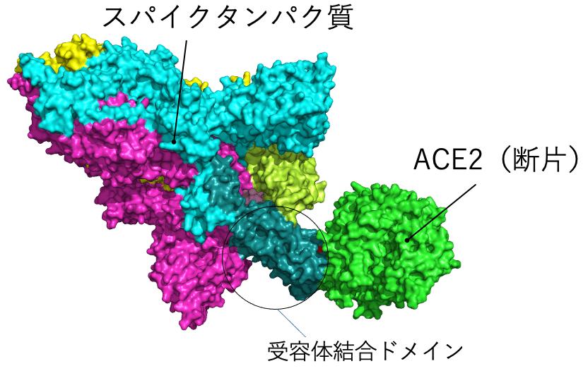 PyMol_CoV2spikeprotein_ACE2_N501_mutation_site