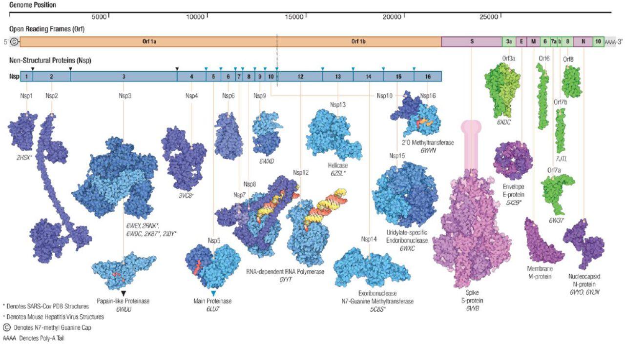 Architecture_of_the_SARS-CoV-2_genome_and_proteome